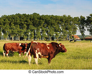 Red and white bull with cows in meadow