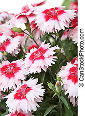 Red and white carnations on white background