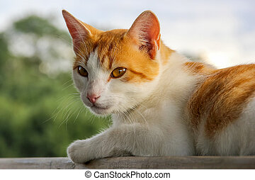 Ginger white cat outside lying. Cute red white cat on nature blurred background. White red cat lying.