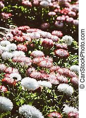 Red and White Chrysanthemum Flower in a Green Garden