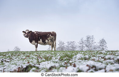 red and white cow in snow covered meadow near utrecht in holland