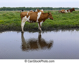 Red and white cow stands next to a creek, reflection of the cow in the water, with more cows at the background on a gray day with gray sky.
