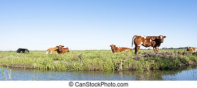 red and white cows and calf in green grassy meadow near canal in holland