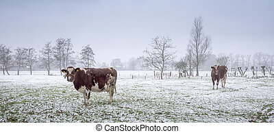 red and white cows in snow covered meadow near utrecht in holland
