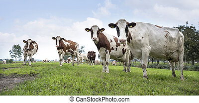 red and white cows under blue sky in green meadow near utrecht in holland