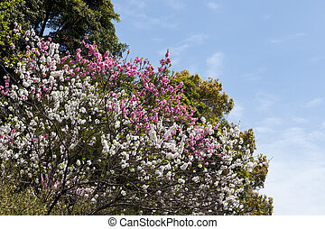 Red and white double-flowered cherry tree - This is a ...