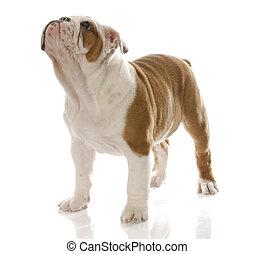 english bulldog puppy - red and white english bulldog puppy ...