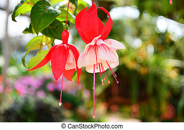 Red and white fuchsia flower.