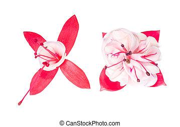 red and white  fuchsia flower on white