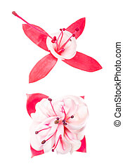 red and white  fuchsia  on white