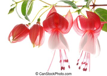 red and white fuchsia - Close-up of red and white fuchsia...