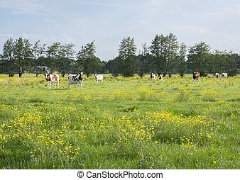 red and white spotted cows and buttercups in dutch summer meadow near utrecht and amersfoort in holland