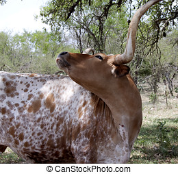 Red and White Texas Long Horn Cow
