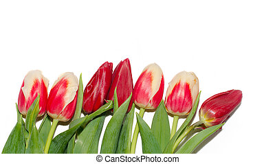 Red and white tulip buds with fresh green leaves in soft light on white background. Holland tulip flowers isolate. Macro