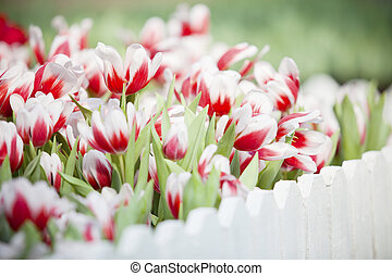 red and white tulip flower in the