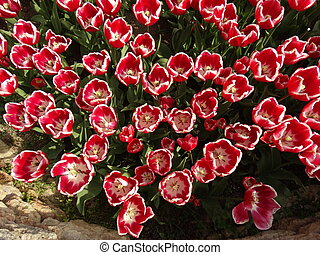 Red and White Tulips in a Garden