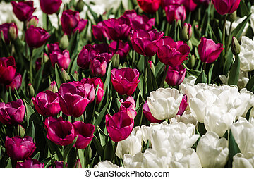 Red and White Tulips in Bloom