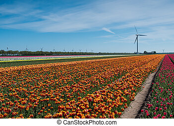 Red and white tulips in field