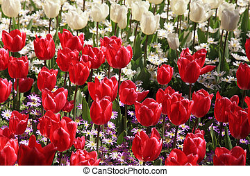 red and white tulips in spring garden