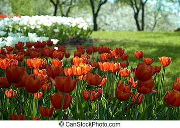 Red and white tulips in the park.
