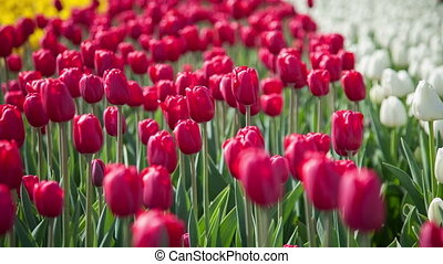 Red and white tulips on the flowerbed