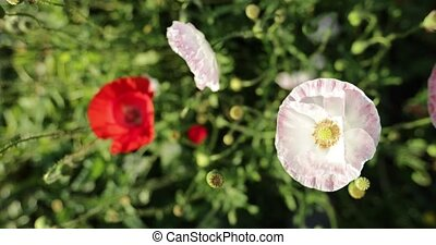 red and white wild poppy.