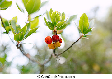 Red and yellow Arbutus unedo fruits on a branch with green leaves close-up.