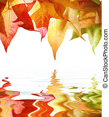 Red and yellow autumn leaves isolated on white reflects in...