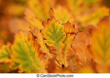 Red and yellow autumn oak leaves