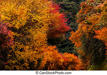 Red and Yellow autumnal tints in Japan