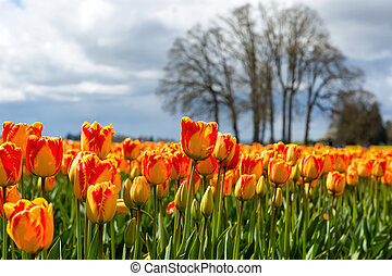 Red and Yellow Color Tulips - Red and Yellow colored tulips...