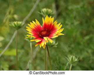 Red and Yellow Garden Flower