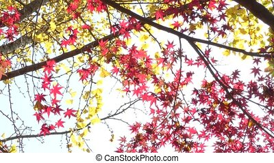 Red and yellow leaves - Red maple leaves and yellow ginko...