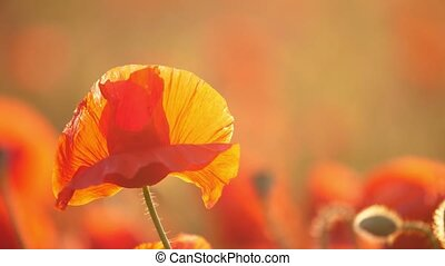 Red and yellow poppies blossoming in a dreamy area in...
