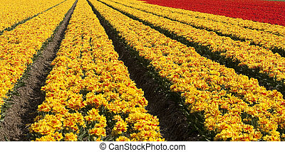 Tulipfields in yellow and red