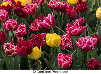 red and yellow tulips blooming in a garden