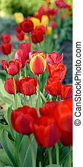 red and yellow tulips flowers