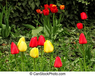 Red and Yellow Tulips in a Green Garden