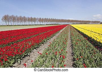 red and yellow tulips in dutch flower field in noordoostpolder with blue sky
