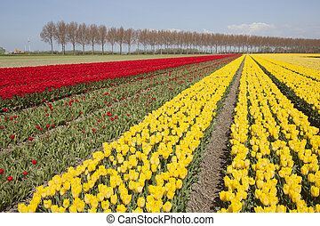 red and yellow tulips in dutch landscape with trees in noordoostpolder in the province of flevoland