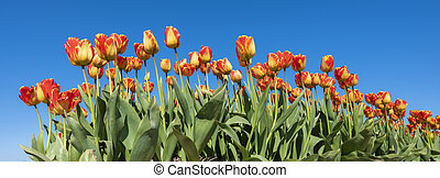 red and yellow tulips in field under blue sky