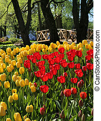 Red and yellow tulips in garden park