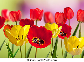 Red and yellow tulips in the garden