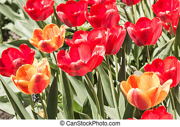Red and yellow tulips on a flower bed with a sunny day.