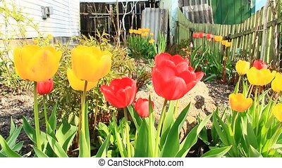 Red and yellow tulips on flower bed in April. Springtime...