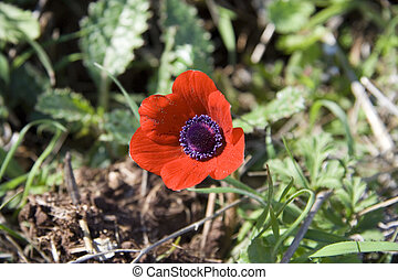Red anemone