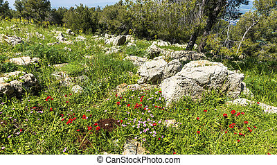 Red anemones and pink wild buttercups bloom fields at spring sunny day. Mount Gilboa. Israel