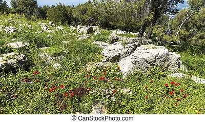 Red anemones and pink wild buttercups bloom fields spring sunny day