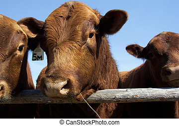 Red Angus Bull - He\'s only a baby!