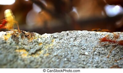 Red ant carry your own food larva. Macro slow motion video